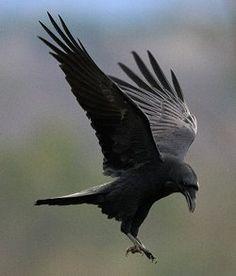 Common Raven: Common Raven