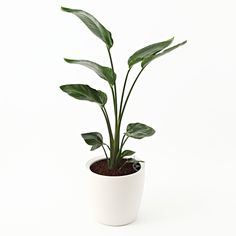 [Net] Rechuza limited to the planted Augusta floor size LL   Muji net store