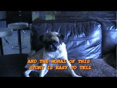 """Singing Pug Loca now famous as """"the Pug that can't run"""" in his 2nd video: """"Me Da's great big trike""""  Cutest Pug ever! from Belfast, Ireland."""