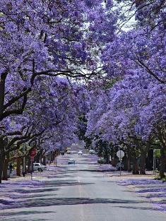 Pretoria, South Africa. I have walked around Pretoria during Jacaranda season ... many times.
