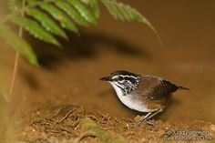 White-breasted Wood Wren   White-breasted Wood-Wren (Unique ID: 3600)