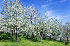 VIDEOškola rezu: Naučte sa s nami rezať ovocné stromy Home And Garden, Nature, Plants, Travel, Sad, Gardening, Garten, Voyage, Flora