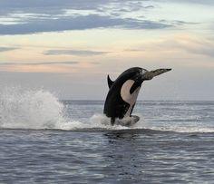 El increible salto de cuatro metros de una orca de 5000 kilos En esta fotografías podemos ver el salto de más de cuatro metros sobre el agua de una orca (Orcinus orca). El peso aproximado del animal es de cinco toneladas.  La orca estuvo durante dos horas persiguiendo a un delfín nariz de botella (Tursiops truncatus) que se había alejado de su manada. Al final consiguió capturarlo.