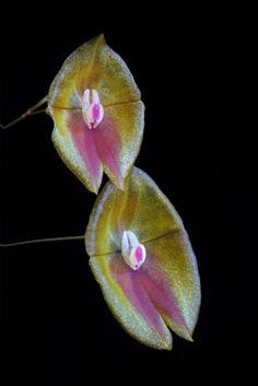 Orchid Lepanthes escobariana