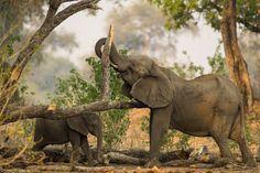 Elephants, Mana Pools, Zimbabwe. #travel-paradise divine, africa