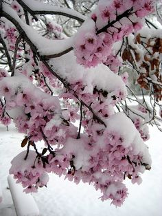tulipnight:  Snow Covering Fruit Tree Flowers by Gurumustuk Singh on Flickr.