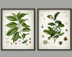 Tea and Coffee Wall Art Poster Set of 2 - Antique Coffee Plant - Vintage Tea Breakast Bar or Cafe Decor - Giclee Home Decor Art Prints This tea and cofee poster set is printed using high quality archival inks on archival paper with a smooth matte finish. Coffee Drawing, Coffee Painting, Coffee Plant, Tea Plant, Impressions Botaniques, Coffee Wall Art, Kitchen Wall Art, Kitchen Decor, Coffee And Books