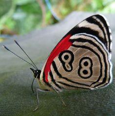 La Mariposa Ochenta y Ocho - Neglected Eighty-Eight Butterfly  Un descuidado ochenta y ocho mariposa (Diaethria neglecta) en muestro Pantanal de Brasil el diseño de líneas y puntos que le da su nombre común inusual.