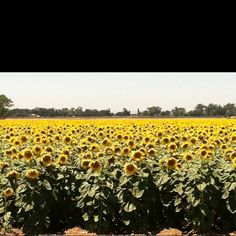 Sunflower field in Sacramento, Ca.