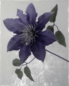"Flowers In Neutral Moment-2 ""Clematis"" Archival pigment print Photo by Soichi Oshika"