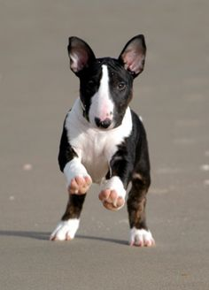 Bull Terrier puppy. Photo by Alice van Kempen