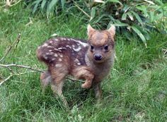 Fofo, não é? Este é um #filhote de #pudu, um cervídeo, como os alces, mas de pequeno porte. Ele nasceu no #zoológico do Queens, em #NovaYork, em maio. Foto Divulgação.