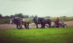 Horse drawn plough for four horses. Swedish Ardennais Limppu and Percheron studs Pläsi, Bogas, Parooni. www.tyohevoset.fi