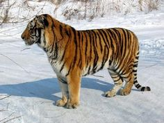 Tigers could meander again in Central Asia, researchers say