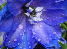 Delphinium after rainfall. Delphinium are also commonly known as larkspur. Other names include Lark's Heel, Lark's Claw and Knight's Spur. Used by Native Americans and European settlers to make blue dye, it's believed that the most ancient use of delphinium flowers was for driving away scorpions. The July birth flower, these lush flowers symbolize an open heart and ardent attachment and convey a feeling of lightness and levity.