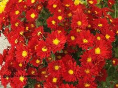 Lantana Camara, Bonsai, Agua Mineral, Plants, Red, Color, Hibiscus, Fox Tails, Chrysanthemums