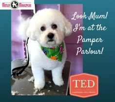 Bichon Frise Ted being pampered at Mutley Makeovers Tamworth