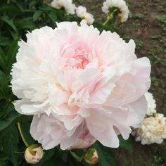 If you desire the most fragrant peony, then the spring-planted Myrtle Gentry Peony should be your choice! This late mid-seasoning blooming perennial has the fragrance of a tea rose. Myrtle Gentry Peony bulbs produce large, salmon-pink flowers that will slowly fade to white; the blooms contrast beautifully with their dark green foliage. Because the blossoms of the Myrtle Gentry Peony are well above the foliage; this variety thrives when it is staked.
