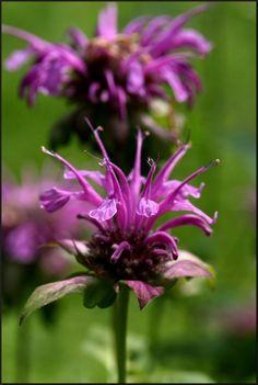 Kouzelné bylinky - Zavinutka