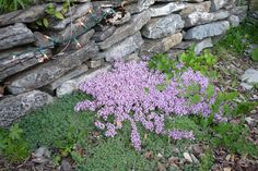wooly thyme | Wooly thyme, and flowering creeping thyme