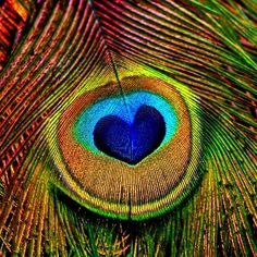 A gorgeous peacock feather with a turquoise and blue heart shaped eye. #peacocks #peacockfeathers #blueandyellow #birds