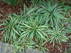 Chlorophytum Comosum (Spider Plant): attractive, drought resistant ground cover for shady sites in a well-drained soil. does better w/ irrigation. Will die in 20's.