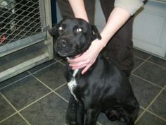 MICHIGAN ~ URG'T ~  meet Butch ID 104 an #adoptable Labrador Retriever in Ithaca. Butch is a Black Lab mix male. He has been an outdoor dog. He is friendly. He gets along with other dogs.  ~ GRATIOT HAS A CONTRACT with R & R - a Class B animal dealer selling to research - contract set to expire 2013 ~~ Gratiot County Animal Control,   2675 W. Washington Road  Ithaca, MICHIGAN 48847  989-875-2221