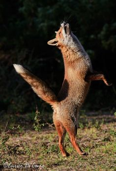 Dances with fox Photo by Enrico De Cenzo -- National Geographic Your Shot
