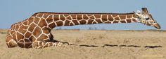 Giraffffe von Johannes Röhnelt