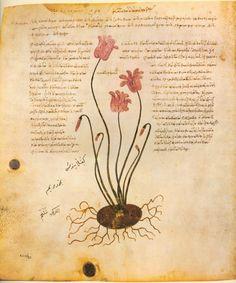 Kyklaminos [from Juliana Anicia Codex] (AD 512)