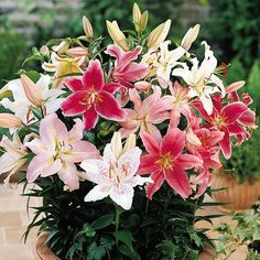 Gardening Products 4 Less Giant Stargazers & Dwarf Oriental Lily Bulbs - 20 Pack - 2005