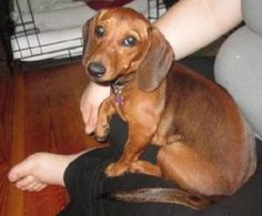 6-23 Clever is an adoptable Dachshund Dog in Albemarle, NC. 6 months old.. The standard adoption fee is $150, but it may vary depending on the situation and the animal. This includes vetting such as sh...