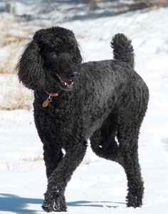 The Standard Poodle usually has a clean face and does not make a mess when drinking nor drool much.