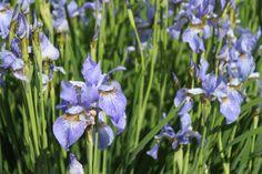 Lilienbeet