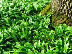 Cura cu leurdă - pentru inimă şi vasele de sângeEste o plantă ce creşte în semi-umbra pădurilor de stejar, gorun sau fag, are frunzele de un verde î