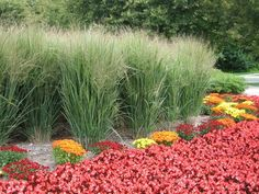 Image result for PANICUM VIRGATUM `NORTHWIND`