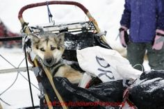 Wednesday March 7, 2012 A Trent Herbst dog rests in the basket shortly after arriving at the McGrath checkpoint. Iditarod 2012.