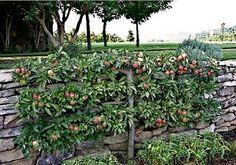 Jakie drzewa owocowe najlepsze do niewielkiego ogrodu? - pytamy.pl