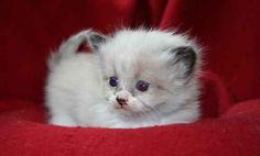 Siberian kitten. (hypoallergenic)