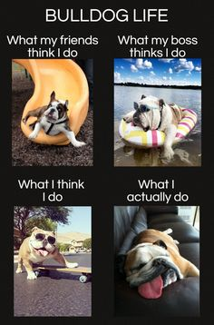 #Bulldog life - expectation and reality   www.fordogtrainers.com