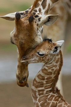 Momma giraffe having a tender moment with junior - Wild baby animals