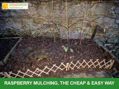 How to Grow Raspberries, Easy and Fast