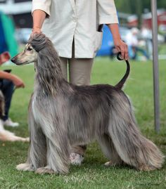 You are so beautiful.....Afghan Hound.