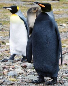 Mutant King penguin - just black, no white.