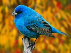 indigo bunting, I wish I could see some of these around home.