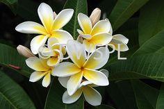 FLOWERING FRANGIPANI TREE (PLUMERIA)