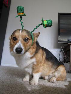 Louie the corgi loves St. Pattys Day