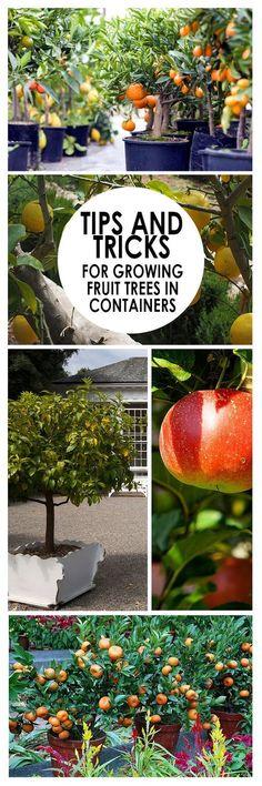 Fruit trees, how to grow fruit, fruit growing tricks, gardening, indoor gardening, popular pins, container gardening. #HomeGarden