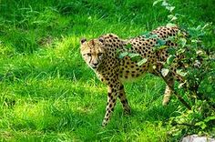 Gepardi, Kissa, Tiergarten