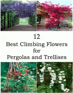 To celebrate the arrival of spring, let's talk about flowering vines. One of the more elegant ways to have in the garden is to add climbing plants or flowering vines. These plants can be trained t Climbing Flowering Vines, Climbing Hydrangea, Climbing Vines, Climbing Flowers Trellis, Flowering Vine Plants, Pergola Swing, Outdoor Pergola, Backyard Pergola, Pergola Ideas